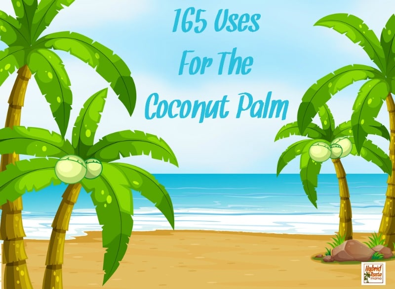 Coconut oil gets all the love these days. But what about the rest of the coconut palm? Did you know that there are over 165 uses for the coconut palm? Check them out from HybridRastaMama.com.