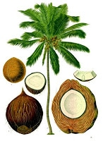 An illustration of a coconut palm tree with the parts of the coconut below it