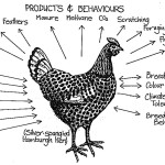 Getting Started With Backyard Chickens