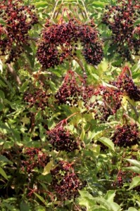 Elderberry plant with flowers