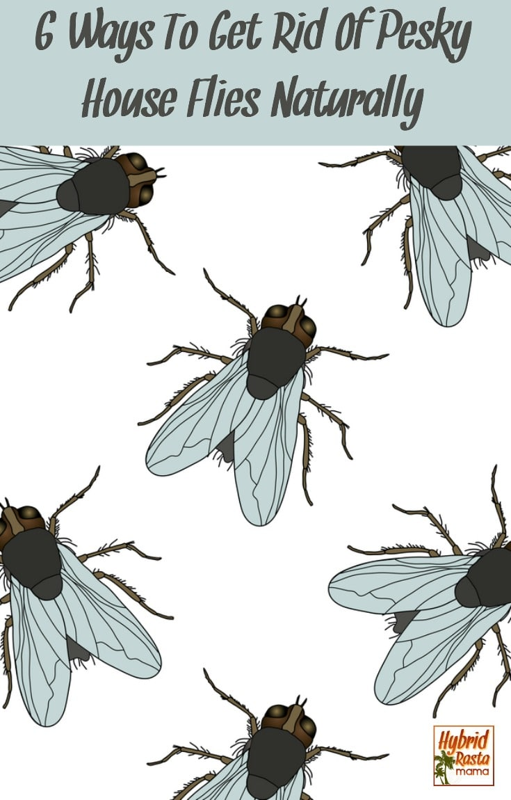 Pesky house flies sneaking in and taking up residence in your home? Here are 6 ways to get rid of house flies naturally. Send those flies packing today! From HybridRastaMama.com #flies #insects #insectrepellent #bugspray #greenliving #pestcontrol