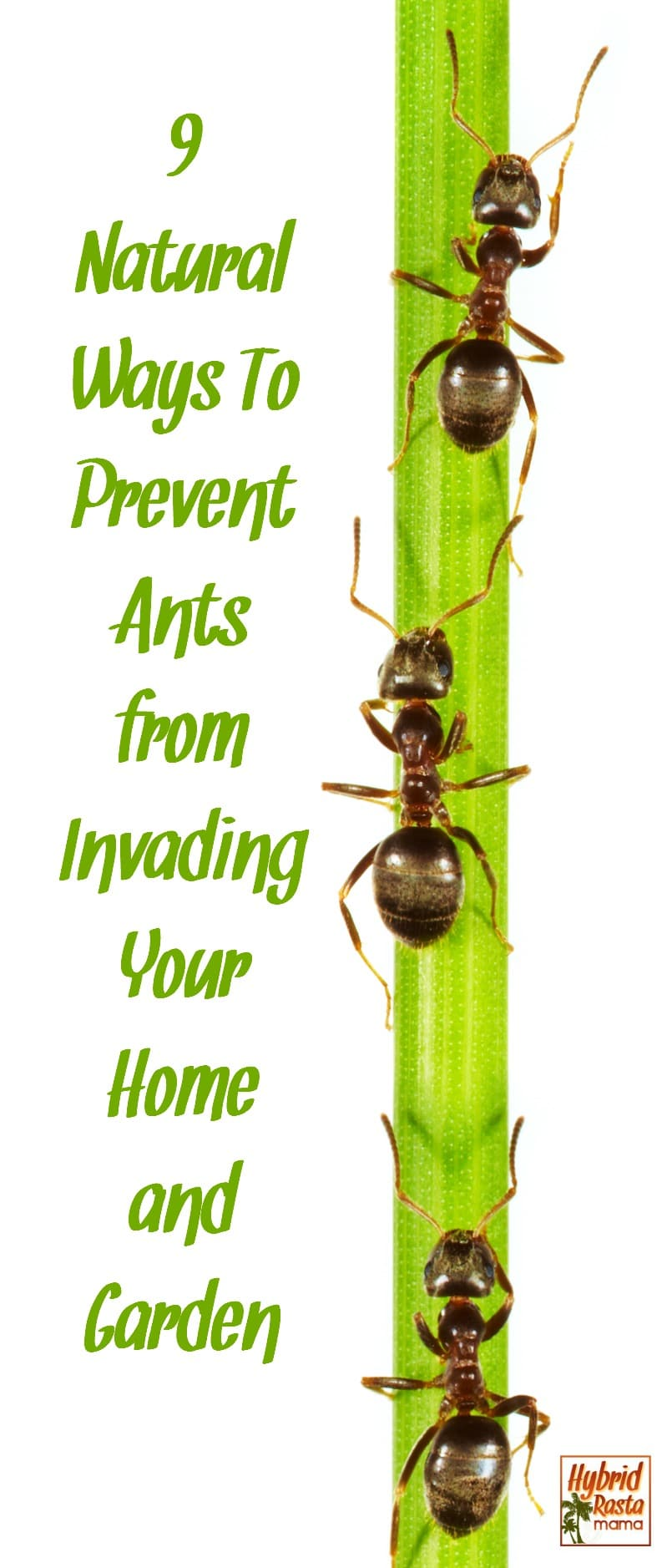Do you have ants in your pants? Of course not! But you might have them in your home and garden area. Learn how to prevent ants from invading your living spaces with these 9 natural and cost effective products from HybridRastaMama.com.  #pestcontrol #ants #bugspray #greenliving