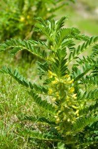 Astragalus herb bush in a grassy field