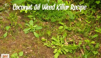 "Looking for a ""green"" alternative to those nasty, chemical laden weed killers? Just open up a jar of coconut oil. Coconut oil weed killer to the rescue from HybridRastaMama.com."