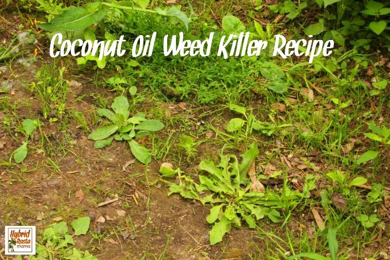 Coconut Oil Weed Killer Recipe | Hybrid Rasta Mama
