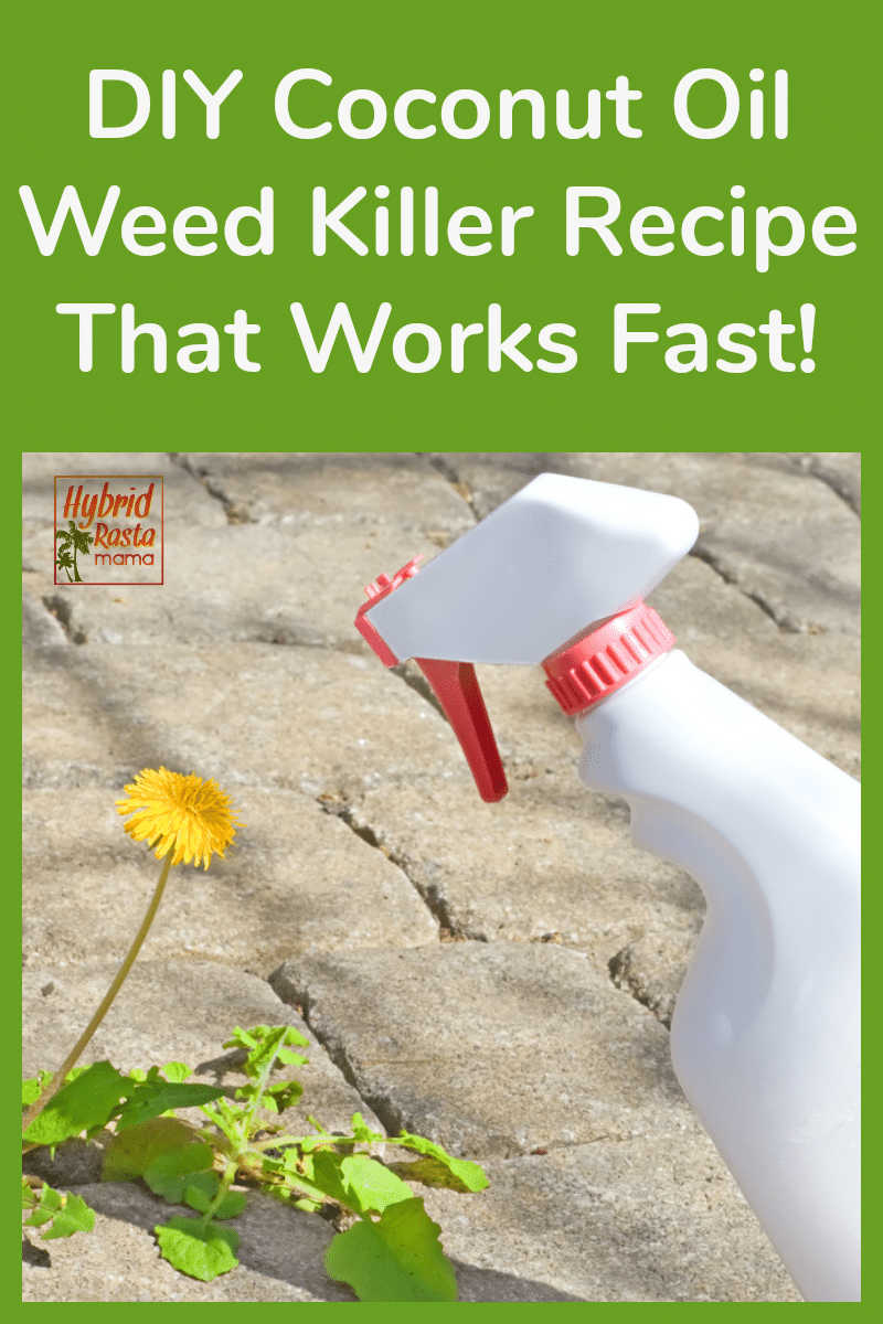 Coconut oil weed killer in a spray bottle being sprayed onto weeds in a sidewalk crack