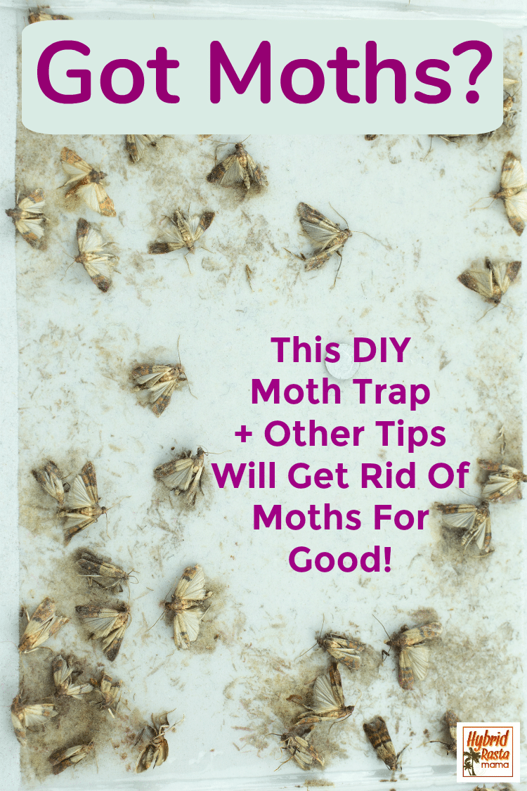 Moths stuck on a DIY moth trap to get rid of moths for good