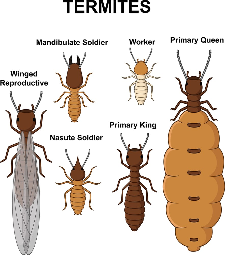 Different Types of Termites and Different Stages Of Life