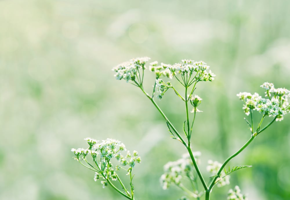 White wild carrot flowers (Queen Annes lace) in a lush green summer meadow with sunlight and shallow focus