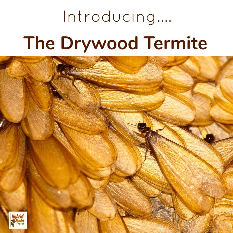 Drywood Termite
