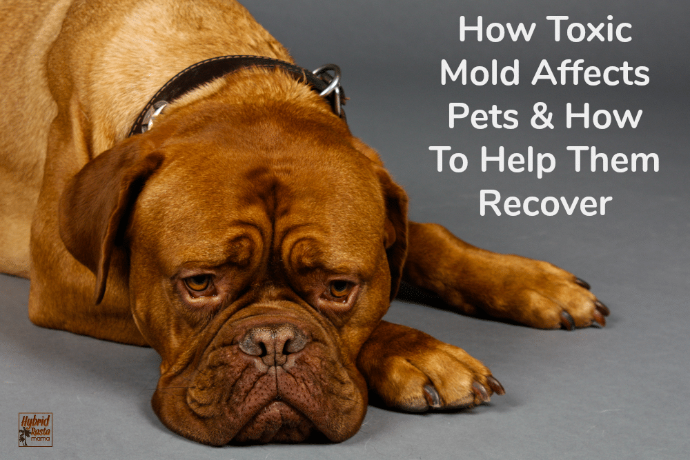 A sad dog who doesn't feel well. The dog has been exposed to mold.