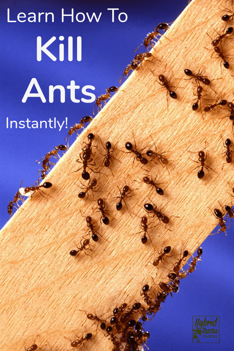 "Ants climbing up a pine board with the words ""how to kill ants instantly"" written in white"