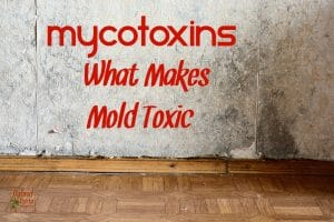 Black mold buildup in the corner of an old house with mycotoxins