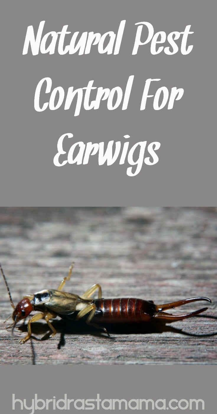 Those pincher claws spook us all and why live in fear of a bug? Kiss those pesky earwigs goodbye with these easy, effective natural pest control solutions. From HybridRastaMama.com #pestcontrol #insectrepellent #pincherbug #bugs #earwigs #greenliving