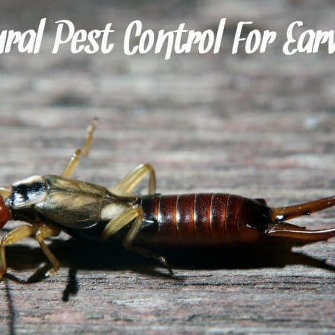 Earwig on a stone background