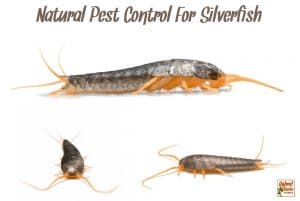 Three views of a silverfish - front view and two side views