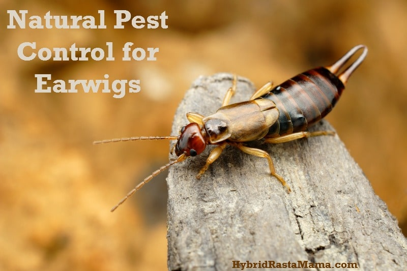 Natural Pest Control for Earwigs from HybridRastaMama.com