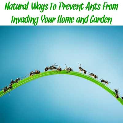 "Ants on a blade of grass with the words ""natural ways to prevent ants from invading your home and garden"""