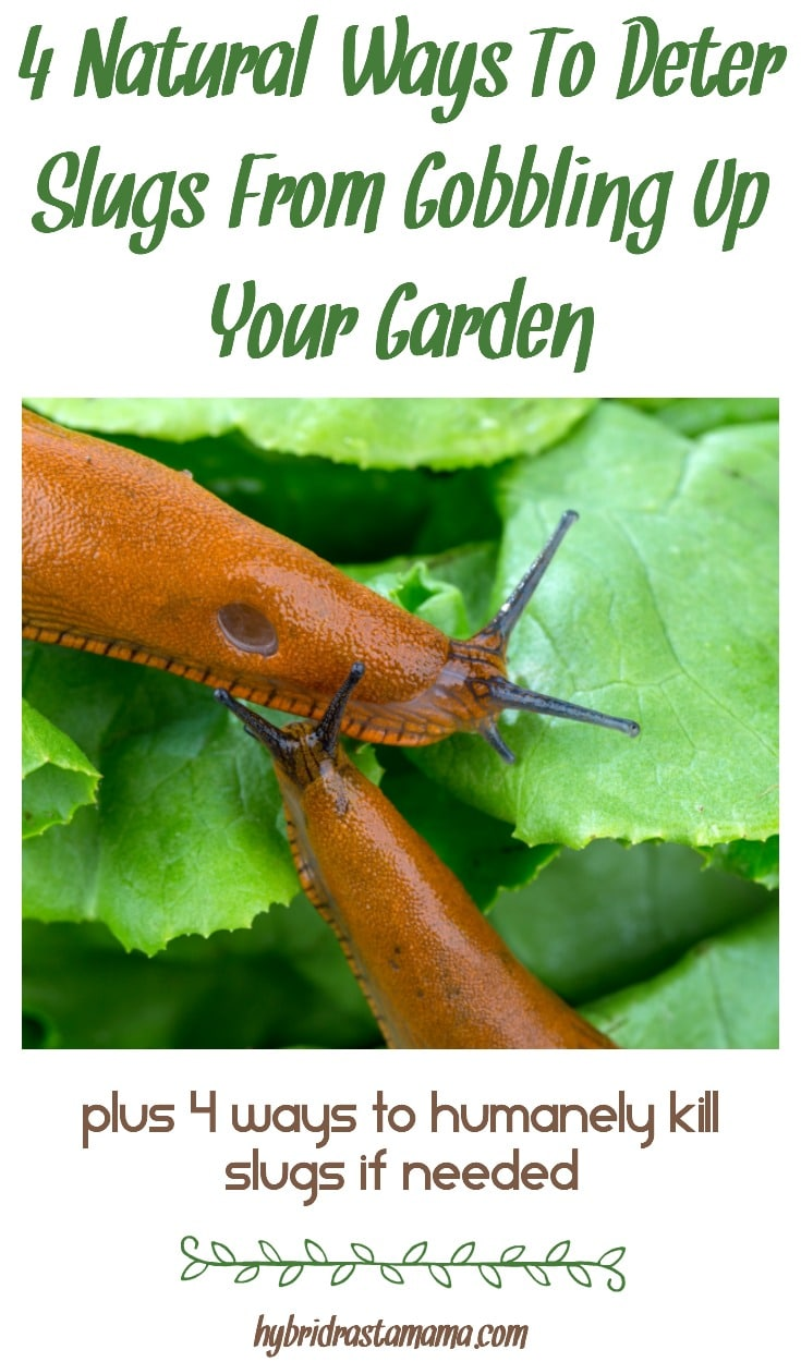 Slugs in the garden are typically considered an unwanted pests. Learn the most effective and natural ways to deter slugs from gobbling up your garden. Need a more permanent solution? See how to humanely kill slugs in garden areas as well from HybridRastaMama.com.