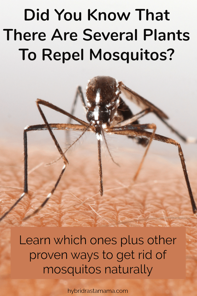 "A mosquito sucking blood from skin with the words ""did you know that there are several plants to repel mosquitos?"""