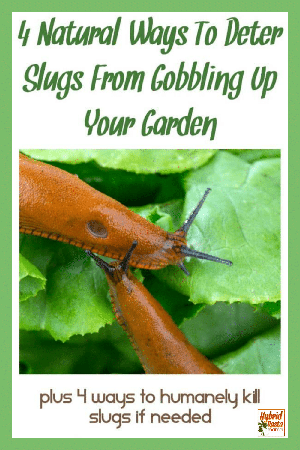 "two slugs on lettuce leaves in the garden. The words ""how to get rid"