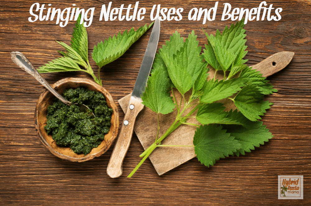 Stinging nettle on a cutting board with a knife and nettle pesto. Just one of the uses of stinging nettle.