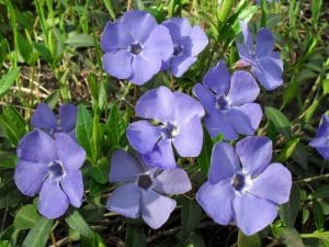 Light purple periwinkle flowers against grass