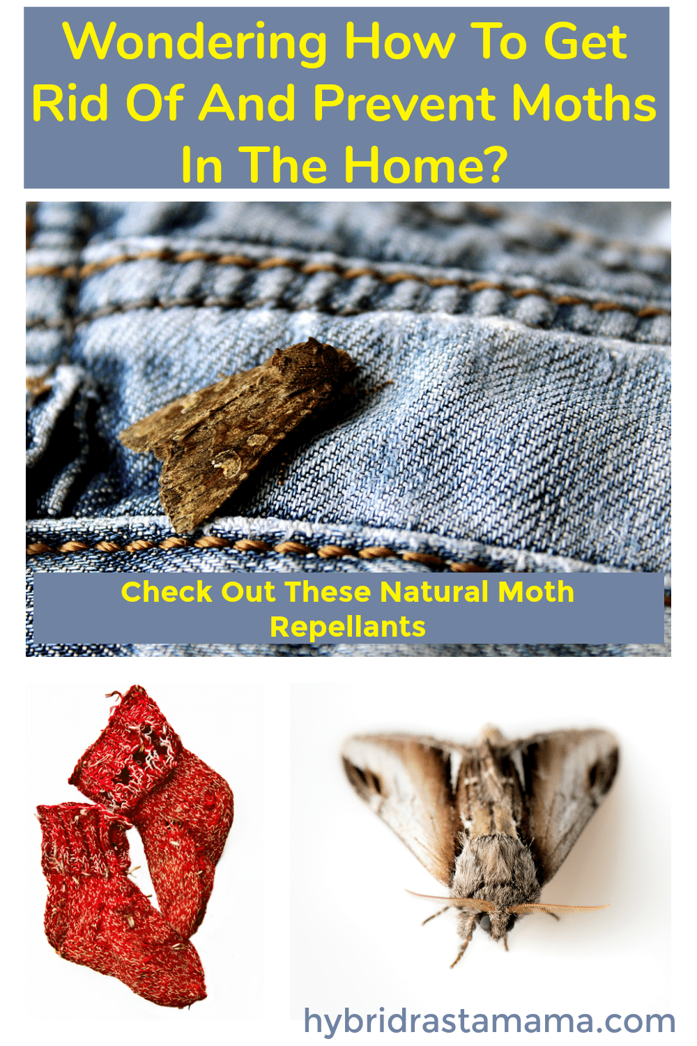 A moth on a pair of jeans as well as a pair of red holey socks. Natural moth repellents to get rid of moths is written in yellow
